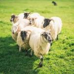 SheepdogTrials